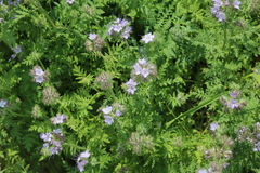Phacelia forage crop for bees Stock Photography