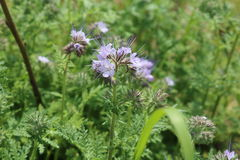 Phacelia forage crop for bees Stock Images