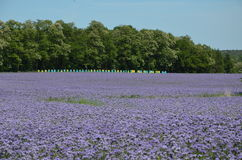 Phacelia and hives. Fields of phacelia in Powidz, Poland Royalty Free Stock Photos