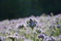 Phacelia lilas fleurit dans la lumière arrière avec le bourdon Images libres de droits