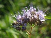 Phacelia mit Biene Lizenzfreies Stockfoto