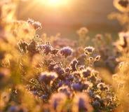 Phacelia no sol da manhã fotografia de stock royalty free