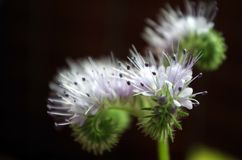 Phacelia Royalty Free Stock Photo