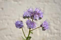 Phacelia, Scorpionweed (tanacetifolia Phacelia) Royalty-vrije Stock Afbeelding