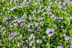Phacelia Tanacetifolia στον τομέα στοκ εικόνα με δικαίωμα ελεύθερης χρήσης