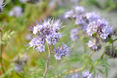 Phacelia tanacetifolia -蜂` s朋友 免版税库存图片