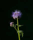 Phacelia tanacetifolia Royalty Free Stock Images