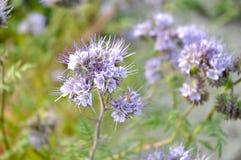 Phacelia tanacetifolia - amico del ` s dell'ape Immagini Stock Libere da Diritti