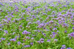 Phacelia, bee food, purple tansy, scorpionweed royalty free stock image