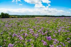Phacelia, bee food, purple tansy, scorpionweed on summer fields stock images
