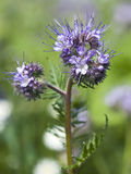 Phacelia tanacetifolia flower on a field Royalty Free Stock Image