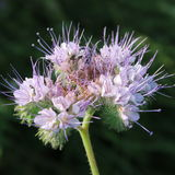 Phacelia tanacetifolia Royalty Free Stock Photos