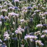 Phacelia tanacetifolia. A healthy and useful food plant blooms in summer blue in the fields Royalty Free Stock Images
