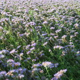 Phacelia tanacetifolia Royalty Free Stock Photography