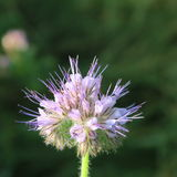 Phacelia tanacetifolia. A healthy and useful food plant blooms in summer blue in the fields Stock Photography