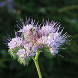 Phacelia tanacetifolia. A healthy and useful food plant blooms in summer blue in the fields Stock Photo