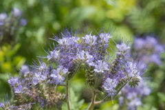 Phacelia tanacetifolia - honey plant for bees. Phacelia tanacetifolia - a honey plant for bees Royalty Free Stock Photography