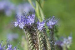 Phacelia tanacetifolia - honey plant for bees. Phacelia tanacetifolia - a honey plant for bees Stock Photos