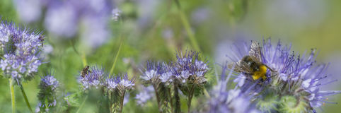 Phacelia tanacetifolia - honey plant for bees. Phacelia tanacetifolia - a honey plant for bees Royalty Free Stock Photos