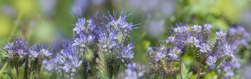Phacelia tanacetifolia - honey plant. For bees Royalty Free Stock Photography