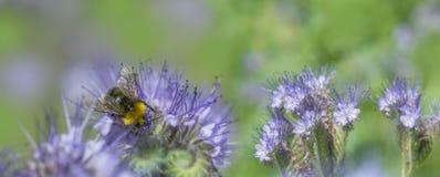 Phacelia tanacetifolia - honey plant. For bees Royalty Free Stock Images