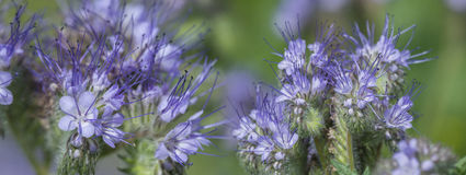 Phacelia tanacetifolia - honey plant. For bees Stock Images
