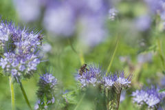 Phacelia tanacetifolia - honey plant. For bees Royalty Free Stock Image