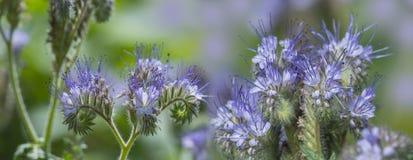 Phacelia tanacetifolia - honey plant. For bees Royalty Free Stock Photos