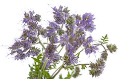 Phacelia tanacetifolia - honey plant. For bees Royalty Free Stock Photo