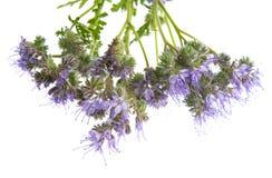 Phacelia tanacetifolia - honey plant for bees. Isolated on white Royalty Free Stock Photos