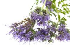 Phacelia tanacetifolia - honey plant for bees. Isolated on white Royalty Free Stock Photography
