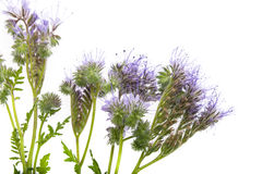 Phacelia tanacetifolia - honey plant for bees. Isolated on white Stock Photos