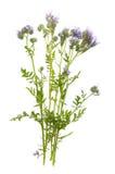 Phacelia tanacetifolia - honey plant for bees. Isolated on white Stock Photography
