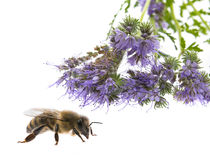 Phacelia tanacetifolia - honey plant for bees. Isolated on white Stock Photo