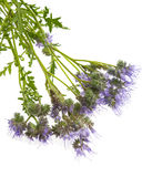 Phacelia tanacetifolia - honey plant for bees. Isolated on white Stock Images