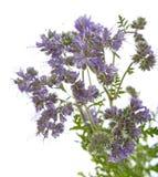 Phacelia tanacetifolia - honey plant for bees. Isolated on white Royalty Free Stock Images