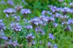 Phacelia tanacetifolia - honey plant royalty free stock photography