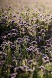 Phacelia tanacetifolia. Nice purple field of phacelia tanacetifolia. Scandinavia Stock Image