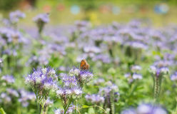 Phacelia tanacetifolia. Purple nectar-rich flowers of  Phacelia tanacetifolia field with butterfly and hives blurred in the background Stock Photos