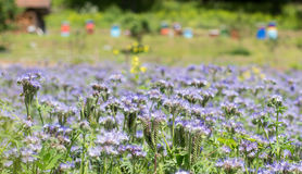 Phacelia tanacetifolia. Purple nectar-rich flowers of  Phacelia tanacetifolia field and hives blurred in the background Stock Photography