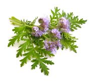 Phacelia tanacetifolia. Is a species of phacelia known by the common names lacy phacelia, blue tansy or purple tansy Stock Photos