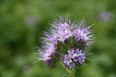 Phacelia - un fertilizante orgánico Imagen de archivo libre de regalías