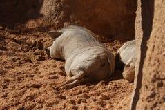 Phacochère africaine - africanus de Phacochoerus Images libres de droits