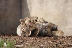 Phacochère africaine - africanus et Meerkats de Phacochoerus Photos libres de droits