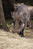 Phacochère - africanus de Phacochoerus Photographie stock