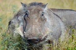 Phacochère (africanus de Phacochoerus) Photos stock
