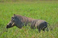 Phacochère (africanus de Phacochoerus) en parc national de Kruger Photo stock