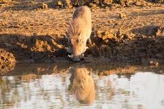 Phacochère avec la grande boisson de dents du point d'eau Image stock