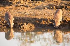 Phacochère avec la grande boisson de dents du point d'eau Image libre de droits