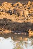 Phacochère avec la grande boisson de dents du point d'eau Photos libres de droits